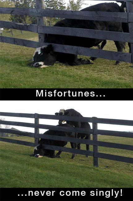 Eine Kuh hat ihren Kopf in einem Zaum eingeklemmt und wird von einem Bullen von hinten bestiegen.
