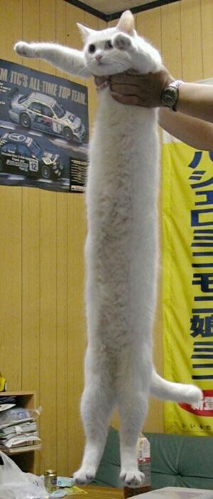 Eine sehr lange Katze wird in die Höhe gehalten.