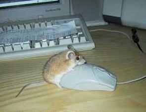 Eine echte Maus besteigt eine Computermaus.