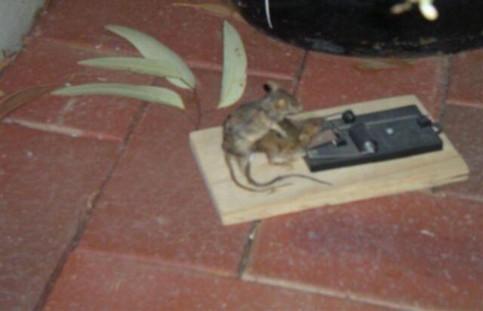 Eine Maus versucht eine andere aus einer Mausefalle zu befreien.