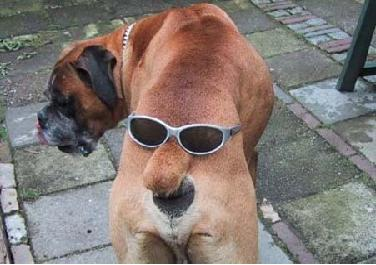 Ein Hund hat eine Sonnenbrille auf seinem Schwanz.