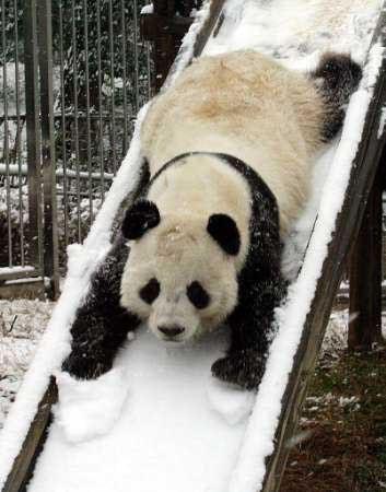 Ein Panda rutscht im Schnee eine Rutsche hinunter.