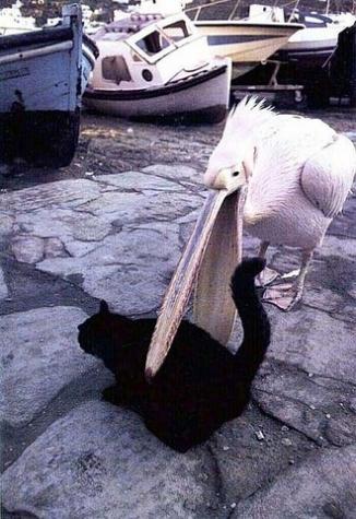 Ein Pelikan schnappt mit seinem Schnabel nach einer Katze.