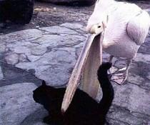 Pelikan und Katze