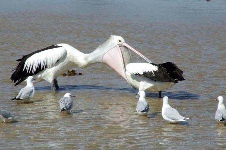 Ein Pelikan macht den Schnabel auf und scheint einen kleineren Pelikan fressen zu wollen.