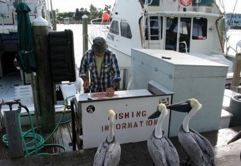 """Zwei Pelikane stehen an der """"Fishing Information"""" im Hafen."""