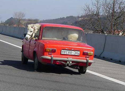Ein Pferd wird auf dem Rücksitze eines Autos transportiert.