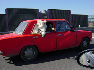 Ein Pferd wird in einem Auto transportiert und schaut aus dem Fenster.