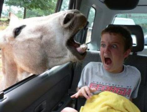 Eine Pferd steckt ihren Kopf in ein Autofenster und erschrickt einen Jungen.