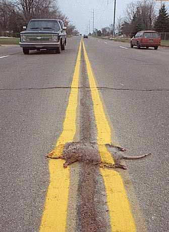 Ein Tier wurde unter einer Linie auf einer Strasse begraben.