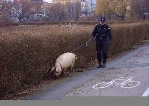 Ein Polizist führt ein Schwein an einer Leine Gassi.