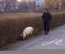 Polizeischwein