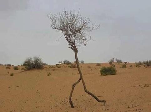 Ein Baum in der Wüste sieht so aus, als würde er rennen.