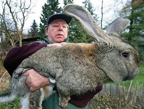 Ein unglaublich großer Hase auf dem Arm eines Mannes.