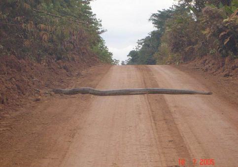 Eine Riesenschlange liegt quer auf einer Strasse.