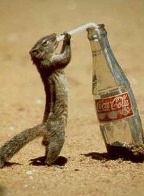 Ein Erdmännchen trinkt mit einem Strohhalm aus einer Flasche Coca-Cola.