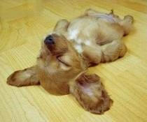 Schnarchhund