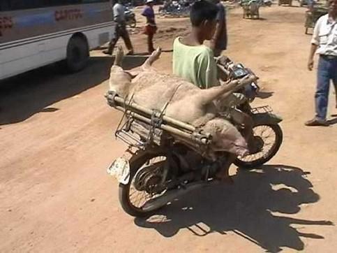 Ein Schwein wird auf einem Motorrad transportiert.
