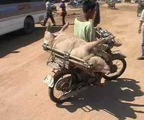 Schweinetransporter
