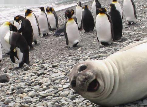 Eine Robbe schaut zwischen einer Gruppe Pinguine lustig in die Kamera.