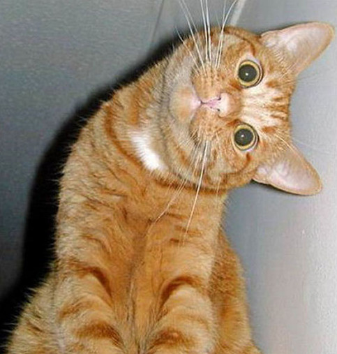 Eine Katze schaut in die Kamera, dabei hält sie ihren Kopf ein einem rechten Winkel zum Körper.
