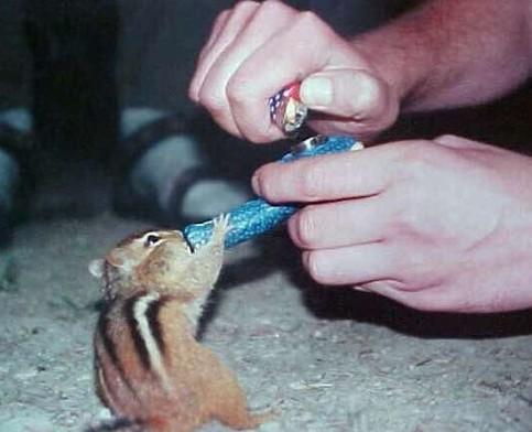 Ein Eichhörnchen raucht eine Pfeife.