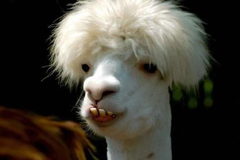 Ein wirklich hässliches Lama!