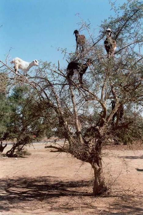 Ziegen in einem Baum.