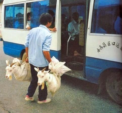 Zwei Ziegen werden in Tüten in einem Bus transportiert.