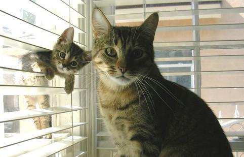 Zwei Katze, die kleine klemmt in einem Rollo.