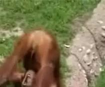 Affe trinkt Pipi