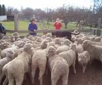 Hund auf Schaf