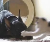 Katze vs. Dobermann