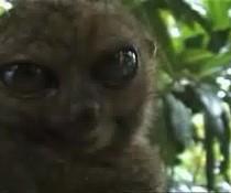 Staunender Lemur