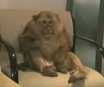 Affe niest