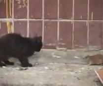 Mutige Ratte