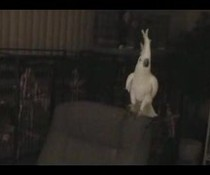 Tanzender Kakadu