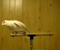 Papagei rockt